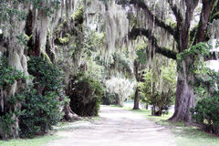 Spanish Moss Hanging from Trees along a Road. Spanish Moss hanging from trees at the Avery Island Nature Preserve which is located near the Tabasco Sauce Factory Stock Photo