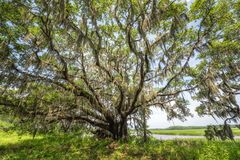 Spanish Moss hanging from an Oak Tree stock photography