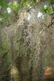 Spanish Moss hanging from an old oak tree. This is an image of Spanish moss hanging from an old oak tree in a wooded area Royalty Free Stock Photo