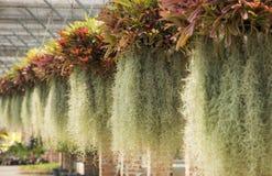 Spanish Moss. Royalty Free Stock Photos