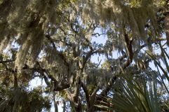Spanish moss hanging from tree. Spanish moss hanging from branches of large tree Stock Photos