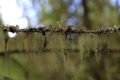 Spanish moss Royalty Free Stock Image