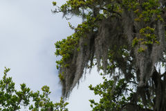Spanish Moss. Moss hanging from a tree during the daylight sky Stock Image