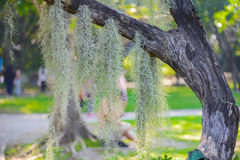 Spanish Moss hanging on tree Stock Images