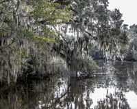 Spanish Moss Hanging from Trees. Spanish moss hanging from Cypress trees in the swamps of Louisiana Stock Photo