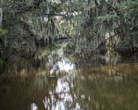 Spanish Moss Hanging from Trees. Spanish moss hanging from Cypress trees in the swamps of Louisiana Stock Photos