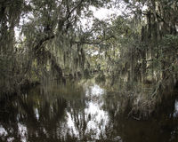 Spanish Moss Hanging from Trees. Spanish moss hanging from Cypress trees in the swamps of Louisiana Royalty Free Stock Photo