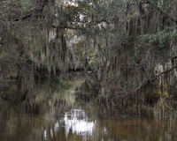 Spanish Moss Hanging from Trees. Spanish moss hanging from Cypress trees in the swamps of Louisiana Royalty Free Stock Images