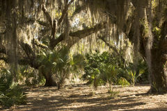 Spanish moss hanging from trees at Lake Kissimmee Park, Florida. Royalty Free Stock Images