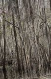 Spanish Moss Hanging From Trees royalty free stock photos