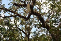 Spanish moss. Hangs from a canopy of trees, blue sky and clouds in the background Stock Photography