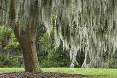 Spanish Moss in a Live Oak Tree Stock Photo