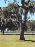 Spanish Moss Royalty Free Stock Image