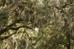 Spanish Moss. Live oak trees dripping with Spanish moss.  Taken near Bradley Creek in Wilmington, NC Stock Images