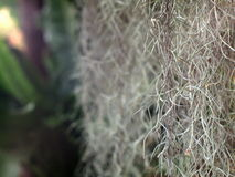 Spanish moss, Royalty Free Stock Photos