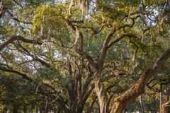Spanish Moss in Massive Old Oak Trees. Spanish moss draped in huge, ancient live oak trees in southern United States Royalty Free Stock Image