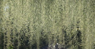 Spanish Moss 2. Natural 'curtain' formed by Spanish moss, suitable as backgroup Stock Image
