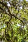 Spanish moss upon an oak Stock Image