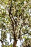 Spanish moss upon an oak Stock Photos