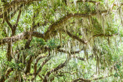 Spanish moss upon an oak Royalty Free Stock Photo
