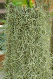 Spanish moss or Old Man's Beard hanging from metal crown in th Stock Images