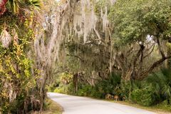 Spanish Moss Pathway. Spanish moss hanging in Southern Live Oak trees over pathway in sun-lit Florida state park Royalty Free Stock Image