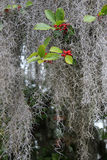 Spanish Moss and Red Berries Royalty Free Stock Image