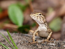 Tropical lizard Royalty Free Stock Photography