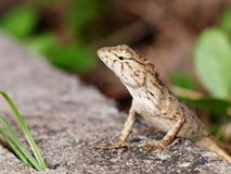 tropical lizard Royalty Free Stock Photos