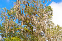 Spanish Moss is a Southern Tree Royalty Free Stock Photos