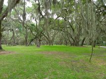 Spanish Moss. Grows in the oak trees on St. Simon& x27;s Island Stock Photography