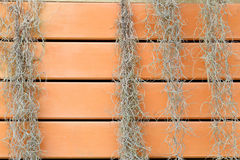 Spanish Moss or Tillandsia usneoides climbing wooden fence. Stock Photos