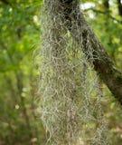 Spanish moss (Tillandsia usneoides). Draping from tree limb Stock Images