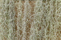 Spanish Moss or Tillandsia usneoides plant for background Royalty Free Stock Photo