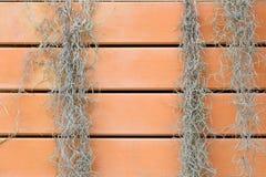 Spanish Moss or Tillandsia usneoides plant on orange wood. Royalty Free Stock Photos