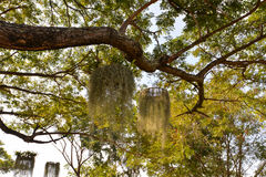 Spanish Moss (Tillandsia usneoides). On tree in garden Show Royalty Free Stock Images