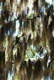 Spanish moss tree 02 stock photography