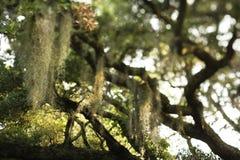 Spanish moss in tree stock photography