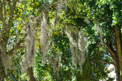 Spanish moss in tree Royalty Free Stock Image