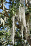 Spanish moss in tree Royalty Free Stock Images