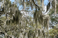 Spanish moss in tree Royalty Free Stock Photos