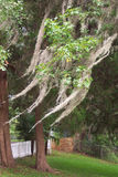 Spanish Moss in Trees Royalty Free Stock Image