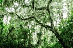 Spanish moss on trees Royalty Free Stock Images