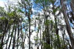 Spanish moss trees. Spanish moss hanging off the trees in the bayou swamp forest of Louisiana Stock Images