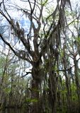 Spanish moss trees. Spanish moss hanging off the trees in the bayou swamps of stock images