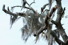 Spanish Moss2. Spanish moss hanging from an expired Southern Live Oak tree Royalty Free Stock Photography
