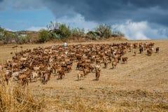 Spanish mountain Goat invasion stock image