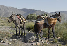 Spanish mules Royalty Free Stock Photography