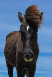 Spanish mustang Royalty Free Stock Photography