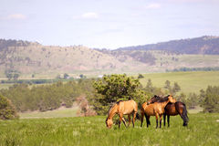 Spanish Mustangs Royalty Free Stock Photo